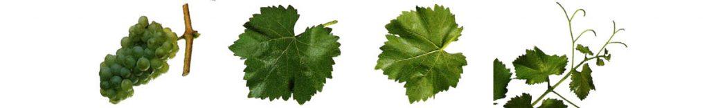 Ruta del Vino de Rioja Alta Variedades garnacha blanca