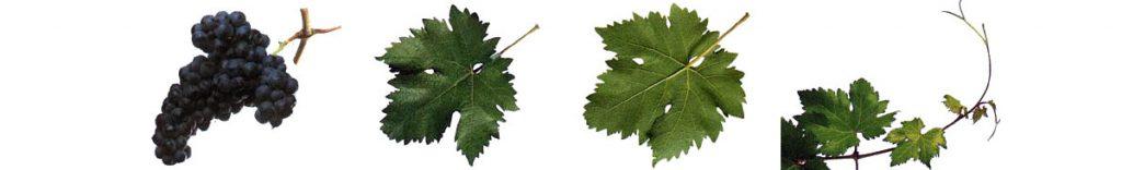 Ruta del Vino de Rioja Alta Variedades tempranillo