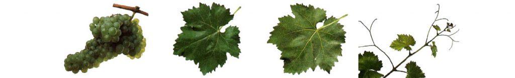 Ruta del Vino de Rioja Alta Variedades viura