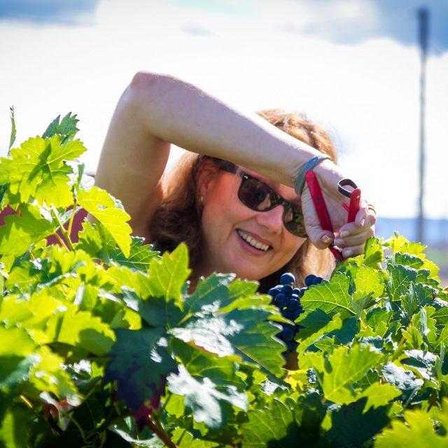 Grape Harvest Day in David Moreno